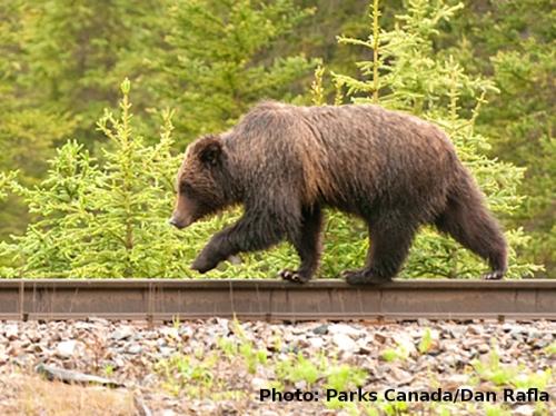 niedźwiedź grizzly idący po szynie