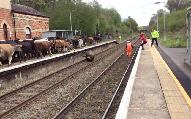 krowa na torze, Heves, Wielka Brytania