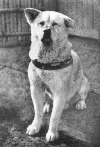Hachiko - wierny pies rasy Akita