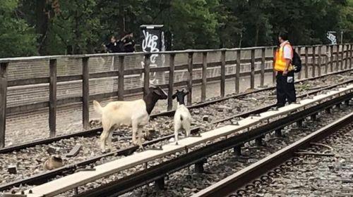 kozy na torach metra w Nowym Jorku