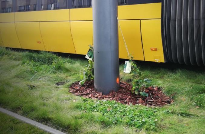 Bluszcz posadzony przy slupie sieci trakcyjnej tramwajów warszawskich